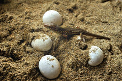 The small lizard and reptile eggs Royalty Free Stock Photography