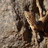 Small lizard on a rock Royalty Free Stock Photos