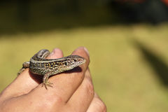 Small lizard sits on hand Stock Photography