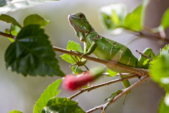 Small lizard sitting on a branch Stock Photos