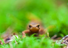 Small lizard Royalty Free Stock Images