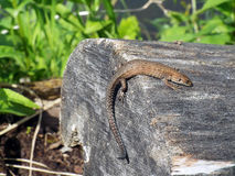 Small lizard sitting on log in forest Royalty Free Stock Images