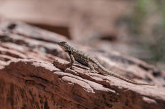 Small lizard on the slickrock in the canyon looking away from th Stock Photography