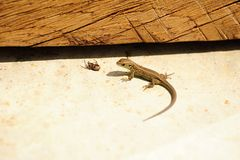 Small lizard and spider Royalty Free Stock Photography