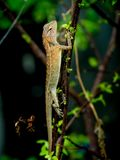 Lizard is staying on tree in nature. Small lizard is staying on tree in nature Stock Photography