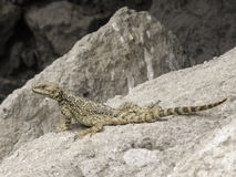 Small lizard on a stone Royalty Free Stock Photos