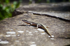 Small Lizard at Stone Royalty Free Stock Images