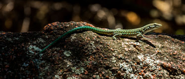 Small lizard on the stone. Small lizard waiting on the stone royalty free stock photography