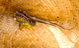 Small lizard in a straw hat Stock Photography