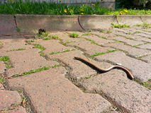 Small lizard on the street Stock Photography