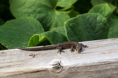 Small lizard. The lizard in the sun beams Stock Photography