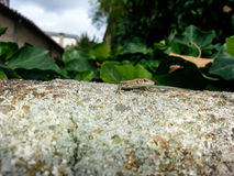 Small lizard. A small lizard sunning on a slope stone of the dangers Royalty Free Stock Photo