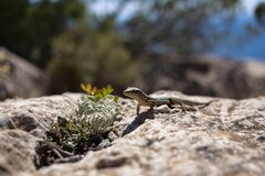 Small Lizard in Sunshine Stock Photography