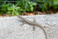 Small lizard that takes the sun on a low wall in the city Stock Photo