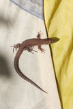 Small lizard on a tent Royalty Free Stock Photos