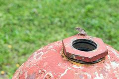 Small lizard on top of iron fire hydrant outdoors Stock Photo
