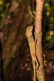 Small lizard in a tree Royalty Free Stock Image
