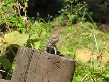Small Lizard on a Tree Trunk Royalty Free Stock Images