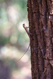 Small lizard on tree trunk Royalty Free Stock Images