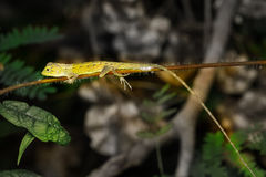 Small lizard on tree Royalty Free Stock Photography