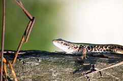 Small lizard on wood. With rust metallic pieces Stock Photography