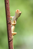 Small lizards Royalty Free Stock Images