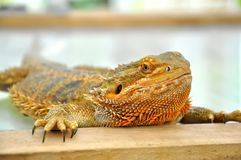 Small lizards Royalty Free Stock Photos