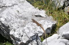 Lizzard on a rock Royalty Free Stock Images