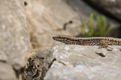 Lizzard on a rock Stock Photo