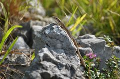 Lizzard on a rock Stock Images