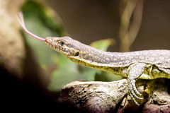 Small lizzard varanus timorensis Stock Photo