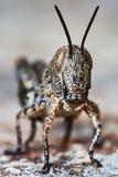 Small locust larvae Stock Photo