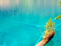 The Small Lone Tree. A small tree struggling to grow on a partially submerged tree trunk Royalty Free Stock Images