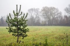 Small lonely pine tree standing on field in foggy weather Royalty Free Stock Photos