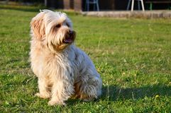 A small long-haired furry dog royalty free stock images