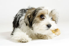 Free Small Longhaired Mixed Dog, 16 Weeks, Maltese And Yorkshire Terrier Royalty Free Stock Image - 30236156