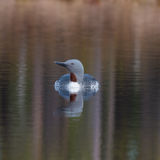 Red throated loon swimming in small lake in Sweden 8 april 2017. Red throated loon swimming in a little lake in Sweden 8 april 2017 Stock Image