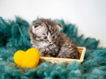 A small thoroughbred kitten and a yellow heart close-up. A small lop-eared pedigreed kitten on a green wool carpet and a yellow decorative heart close-up Royalty Free Stock Photos