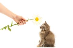 Small lovable kitten and camomile Stock Photography