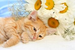 Small lovable kitten with camomiles Royalty Free Stock Image