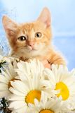 Small lovable kitten with camomiles Royalty Free Stock Photography