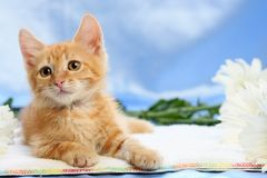 Small lovable kitten with camomiles Stock Photography