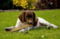 Small Münsterländer. Small sweet puppy - Small Münsterländer Stock Photography