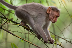 Small macaque monkey walking in bamboo forest Royalty Free Stock Image