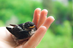 Small magpie. Small nestling on the womens hand Stock Photography