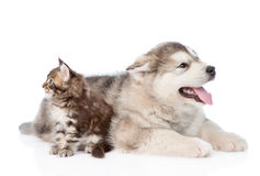 Small maine coon cat and alaskan malamute dog look in different. isolated on white.  Stock Images