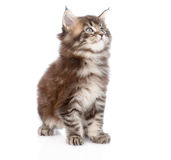 Small maine coon cat looking away. isolated on white background Stock Photography