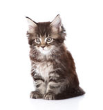 Small maine coon cat looking at camera. isolated on white backgr Stock Photos