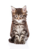Small maine coon cat looking at camera. isolated on white Royalty Free Stock Photography