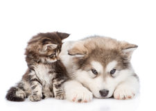 Small maine coon cat looking  looking at a alaskan malamute dog. isolated on white. Background Stock Photography
